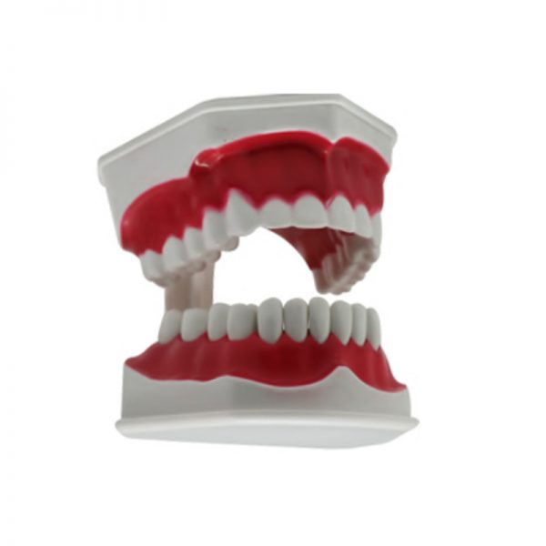 Teeth Model M Size