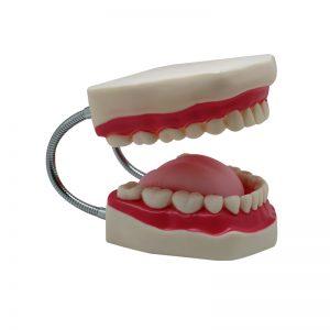 Teeth Model B Size